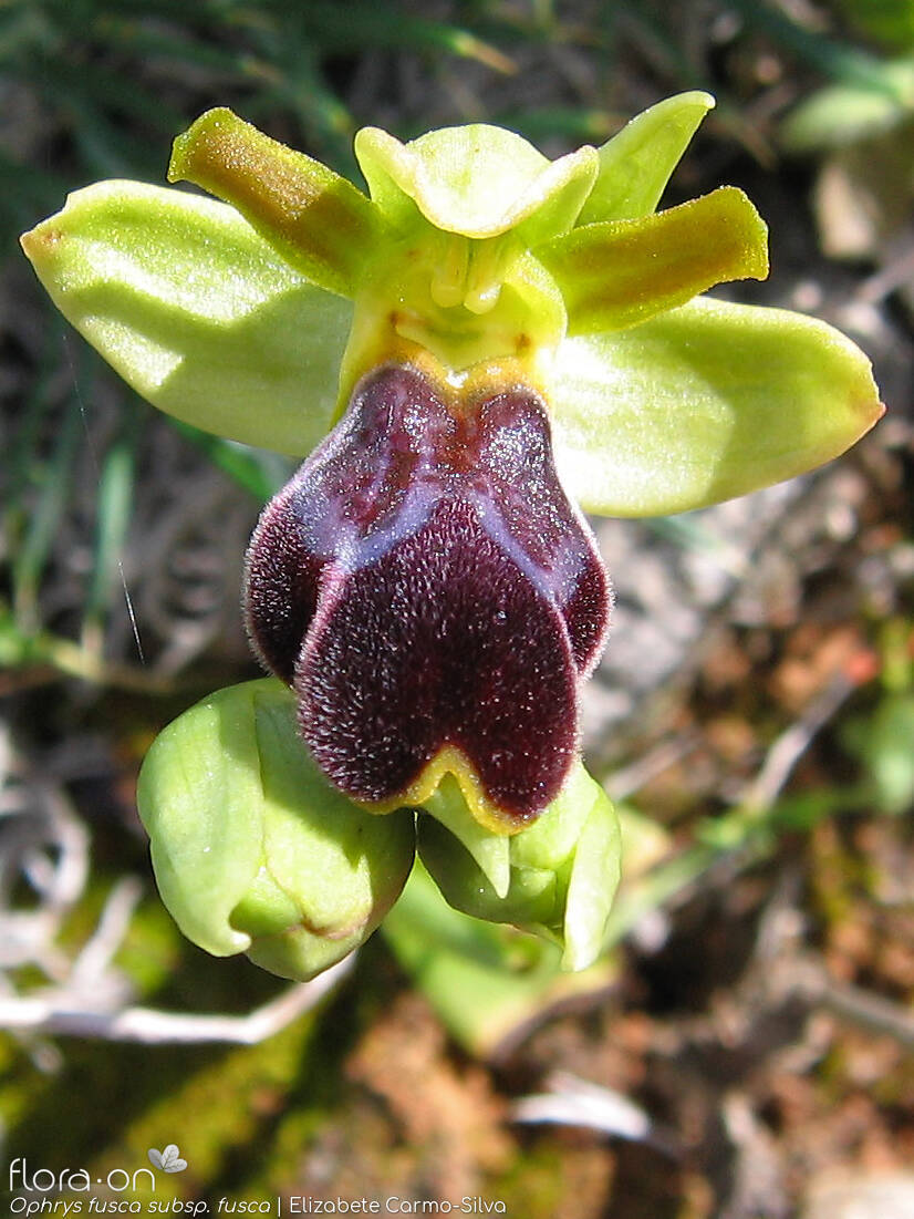 Ophrys fusca fusca - Flor (close-up) | Elizabete Carmo-Silva; CC BY-NC 4.0