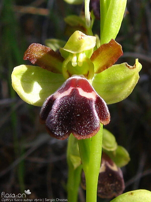 Ophrys fusca - Flor (close-up) | Sergio Chozas; CC BY-NC 4.0