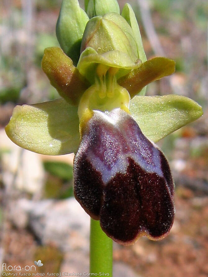 Ophrys fusca - Flor (close-up) | Elizabete Carmo-Silva; CC BY-NC 4.0