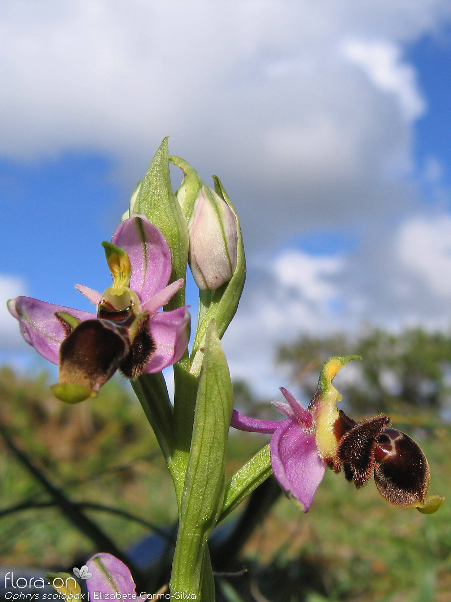 Ophrys scolopax - Flor (geral) | Elizabete Carmo-Silva; CC BY-NC 4.0