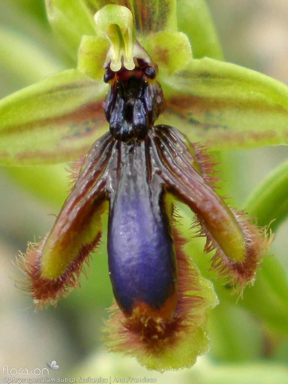 Ophrys speculum lusitanica - Flor (close-up) | Ana Francisco; CC BY-NC 4.0