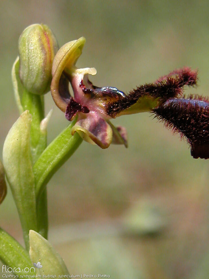 Ophrys speculum speculum - Flor (close-up) | Pedro Pinho; CC BY-NC 4.0