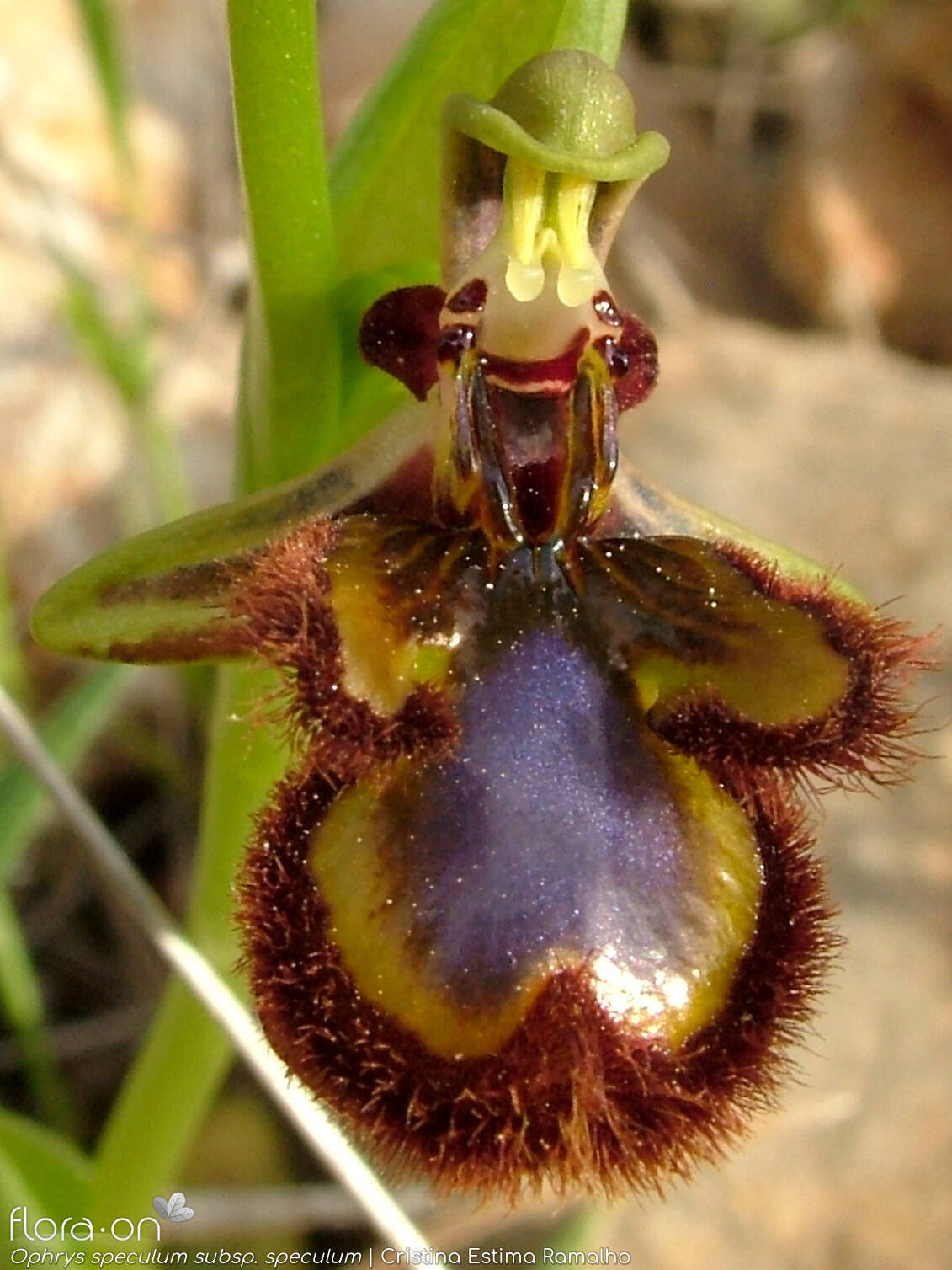 Ophrys speculum speculum - Flor (close-up) | Cristina Estima Ramalho; CC BY-NC 4.0
