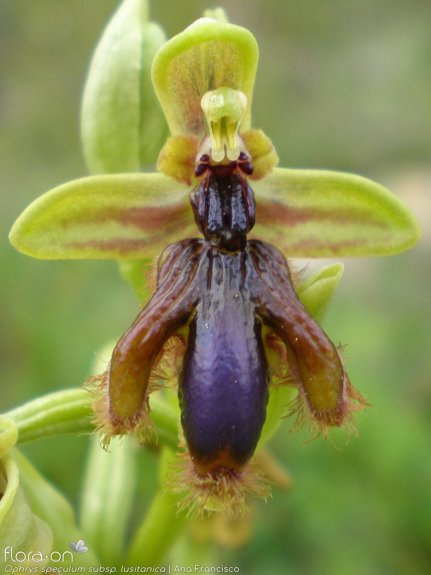 Ophrys speculum - Flor (close-up) | Ana Francisco; CC BY-NC 4.0