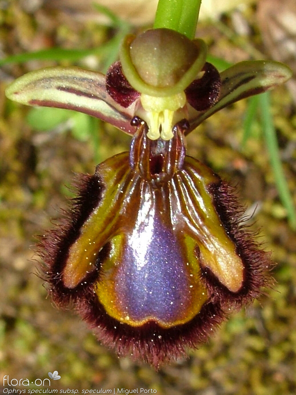 Ophrys speculum - Flor (close-up) | Miguel Porto; CC BY-NC 4.0
