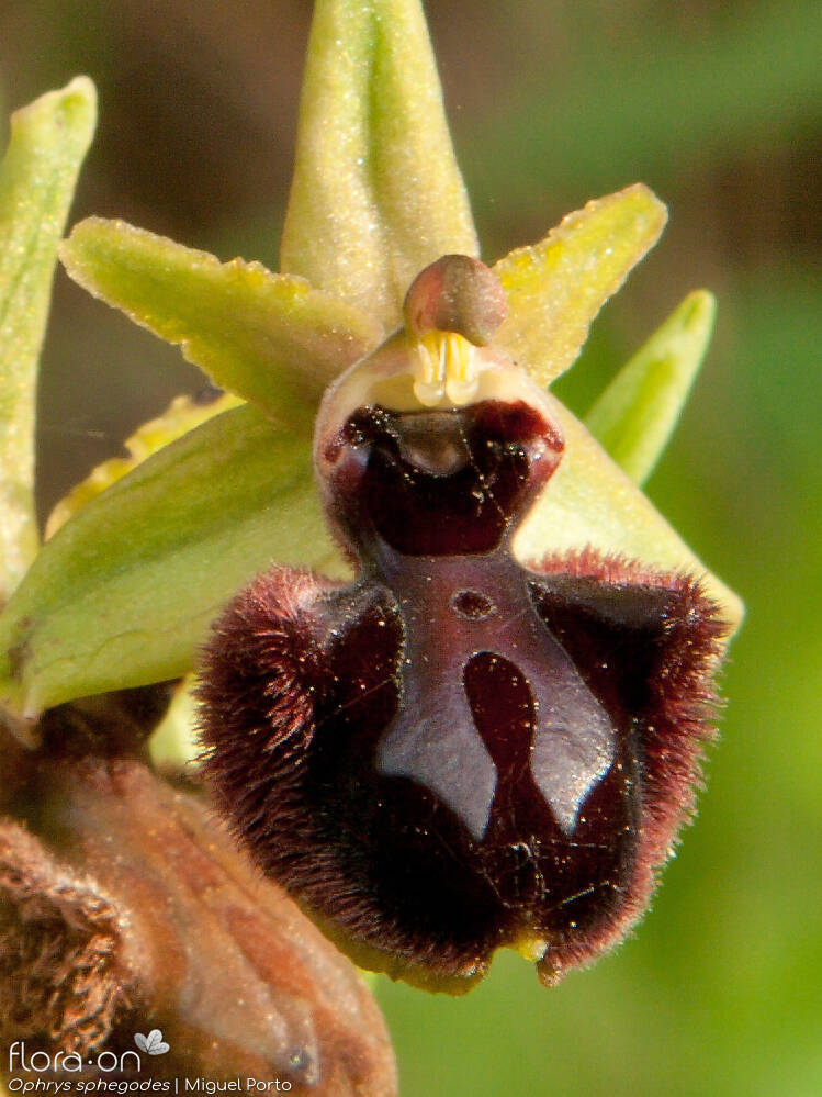 Ophrys sphegodes - Flor (close-up) | Miguel Porto; CC BY-NC 4.0