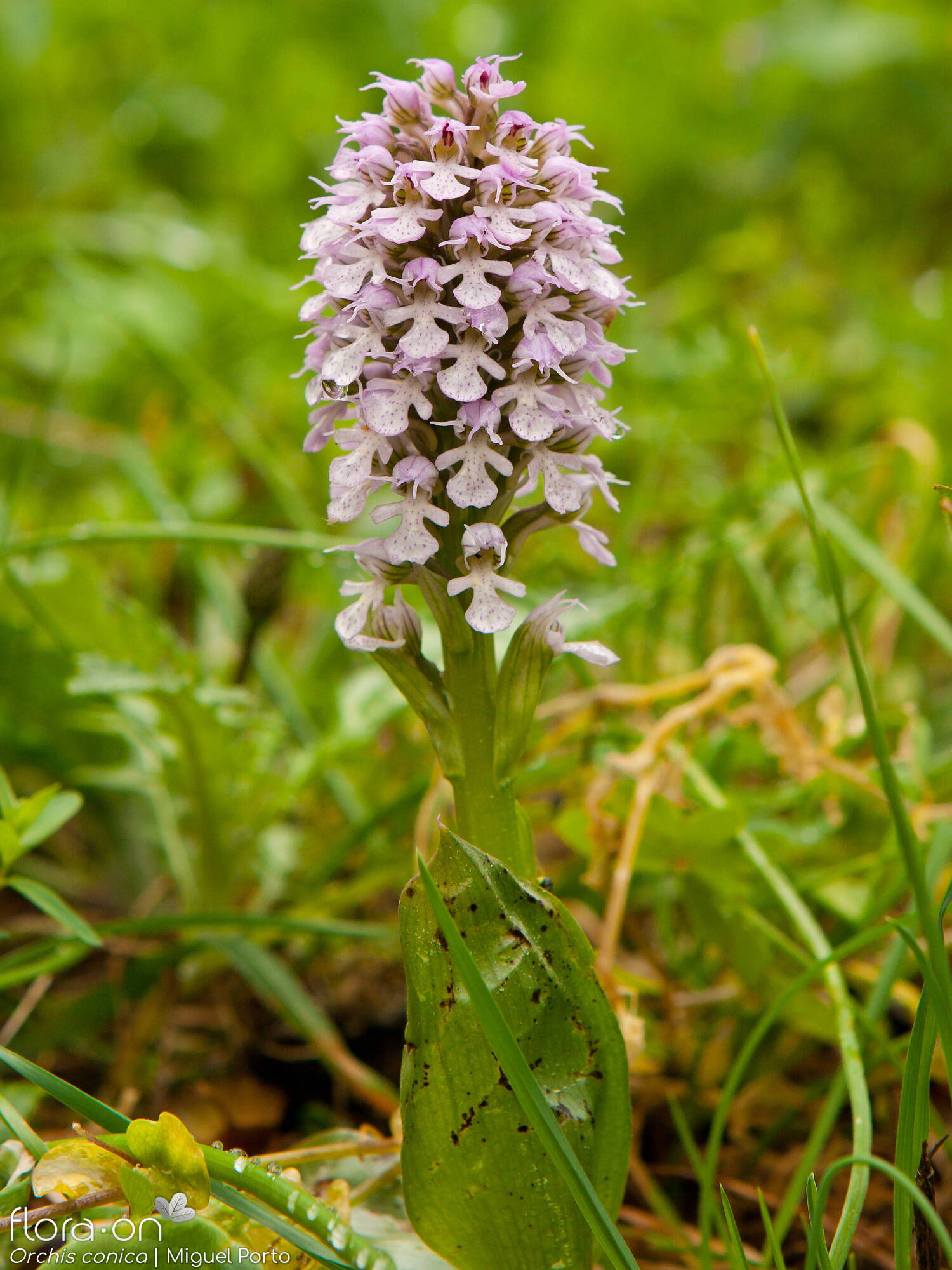 Orchis conica - Hábito | Miguel Porto; CC BY-NC 4.0