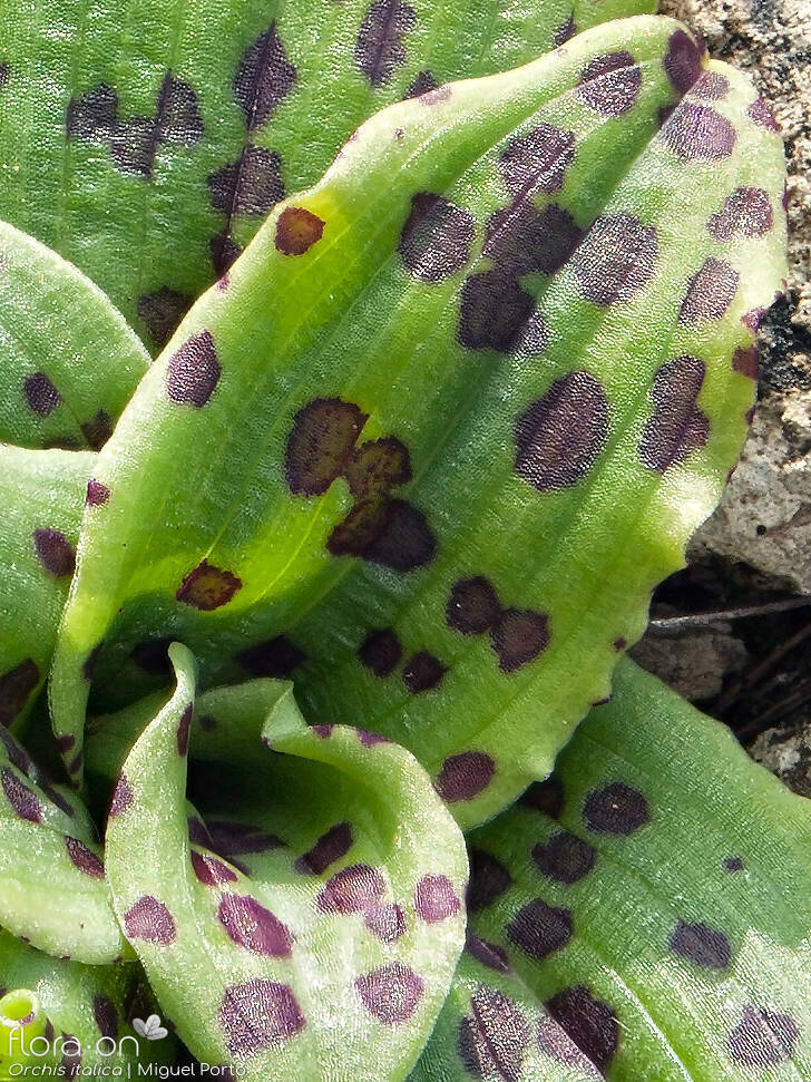 Orchis italica - Folha | Miguel Porto; CC BY-NC 4.0