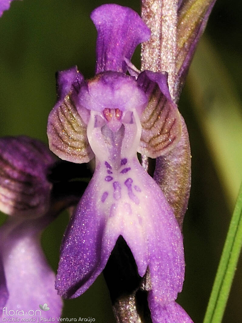 Orchis morio - Flor (close-up) | Paulo Ventura Araújo; CC BY-NC 4.0