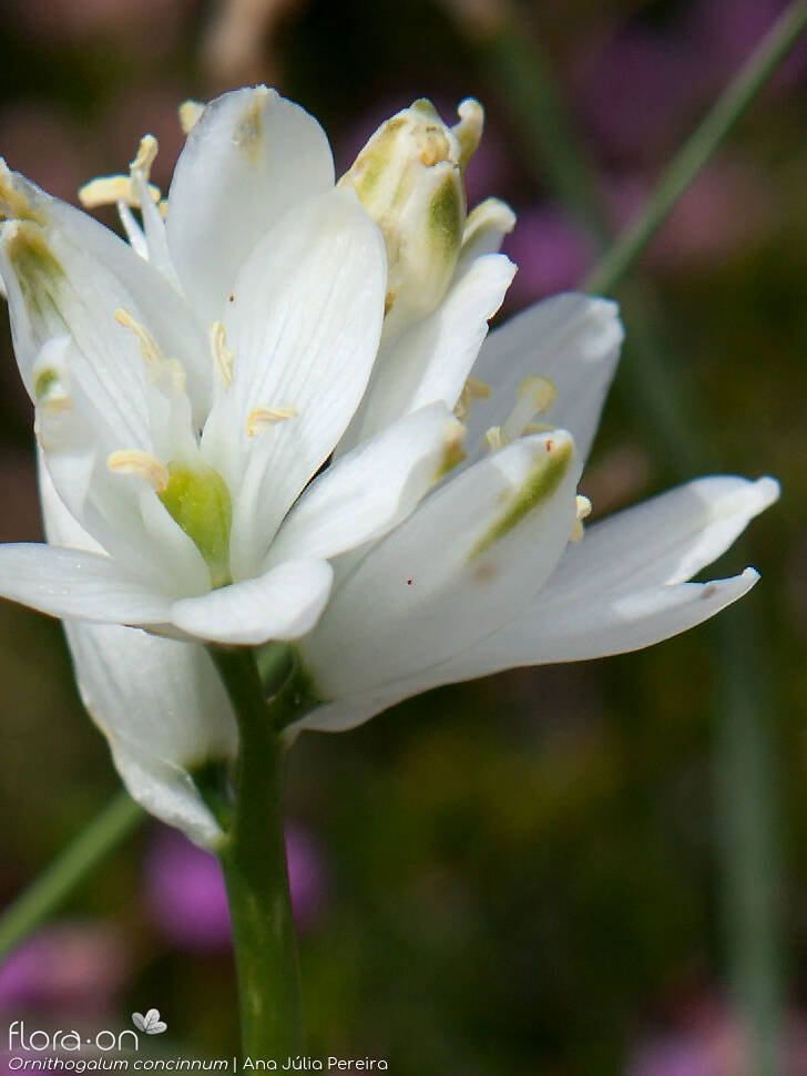 Ornithogalum concinnum - Flor (close-up) | Ana Júlia Pereira; CC BY-NC 4.0