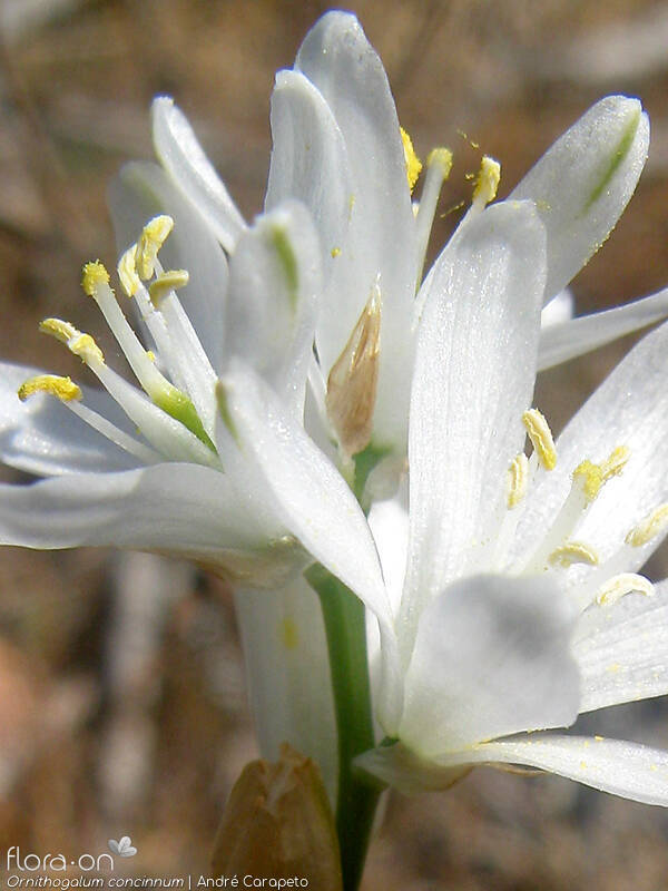Ornithogalum concinnum - Flor (close-up) | André Carapeto; CC BY-NC 4.0