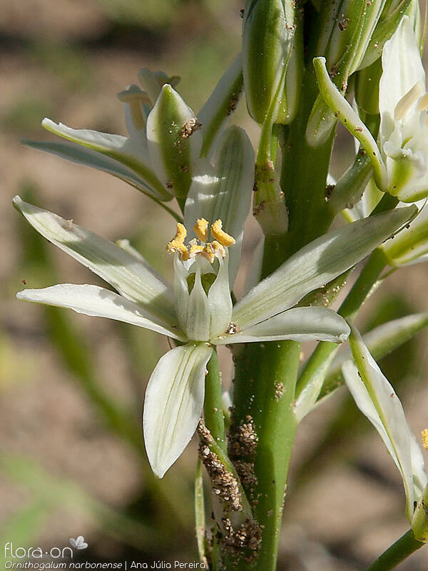 Ornithogalum narbonense - Flor (close-up) | Ana Júlia Pereira; CC BY-NC 4.0