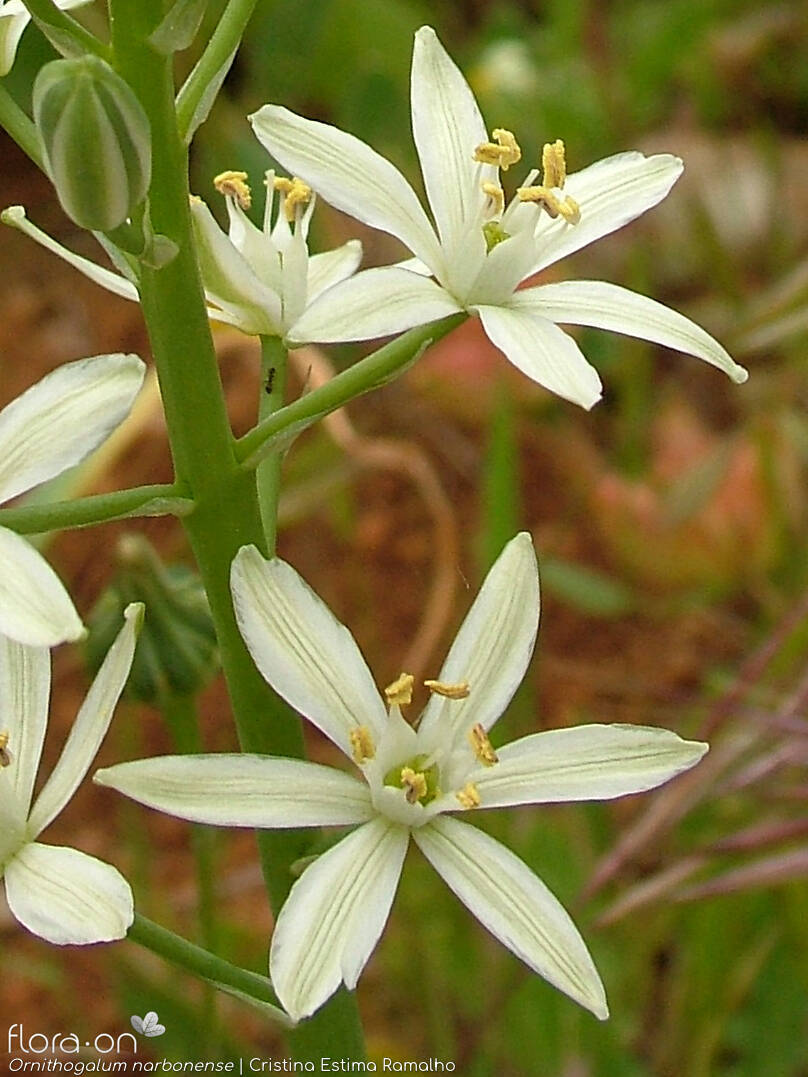 Ornithogalum narbonense - Flor (close-up) | Cristina Estima Ramalho; CC BY-NC 4.0
