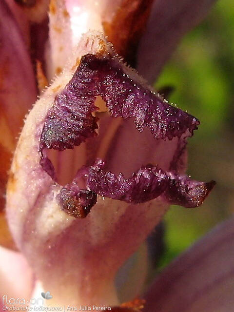 Orobanche latisquama - Flor (close-up) | Ana Júlia Pereira; CC BY-NC 4.0