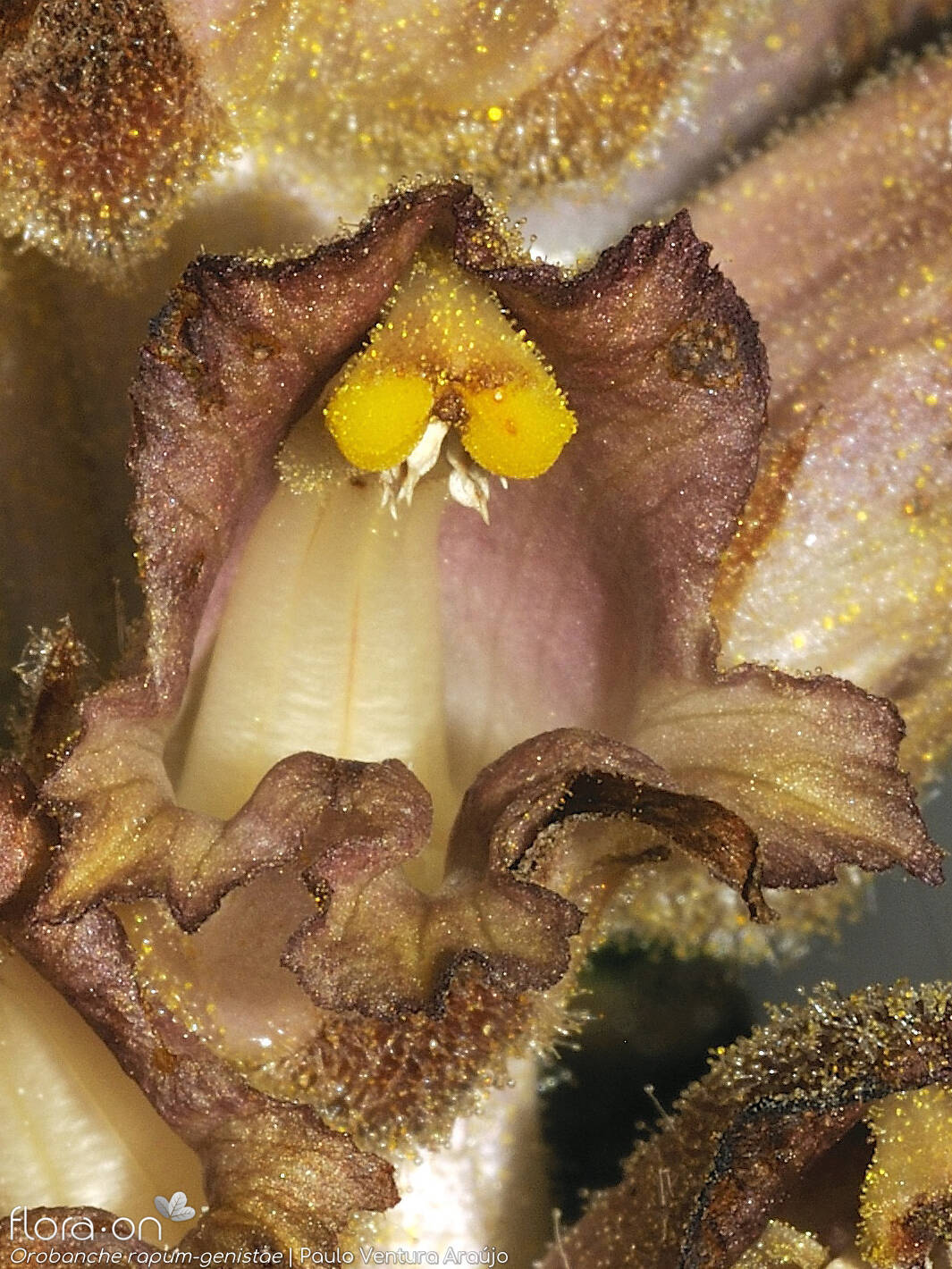 Orobanche rapum-genistae - Flor (close-up) | Paulo Ventura Araújo; CC BY-NC 4.0