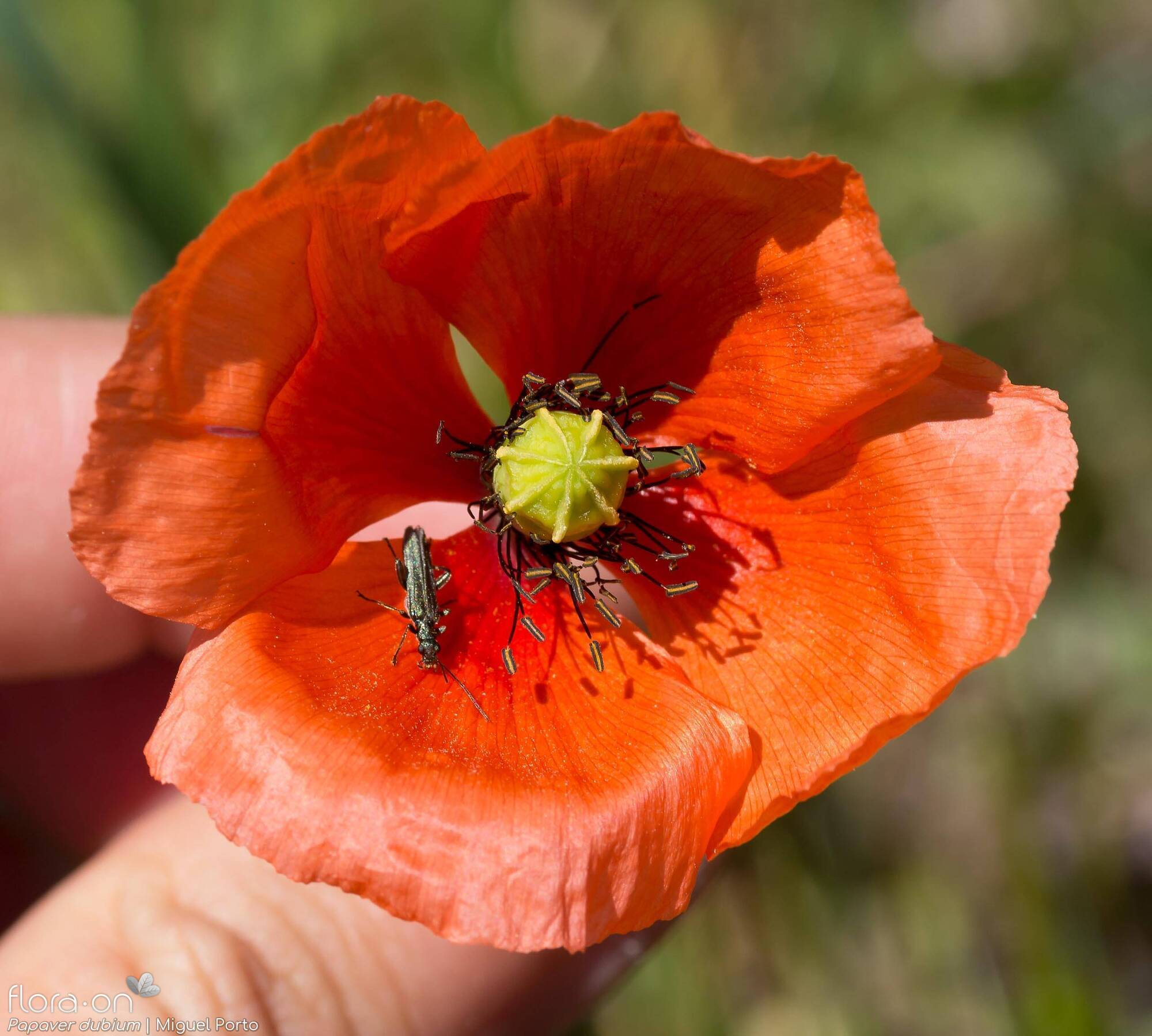 Papaver dubium - Flor (close-up) | Miguel Porto; CC BY-NC 4.0