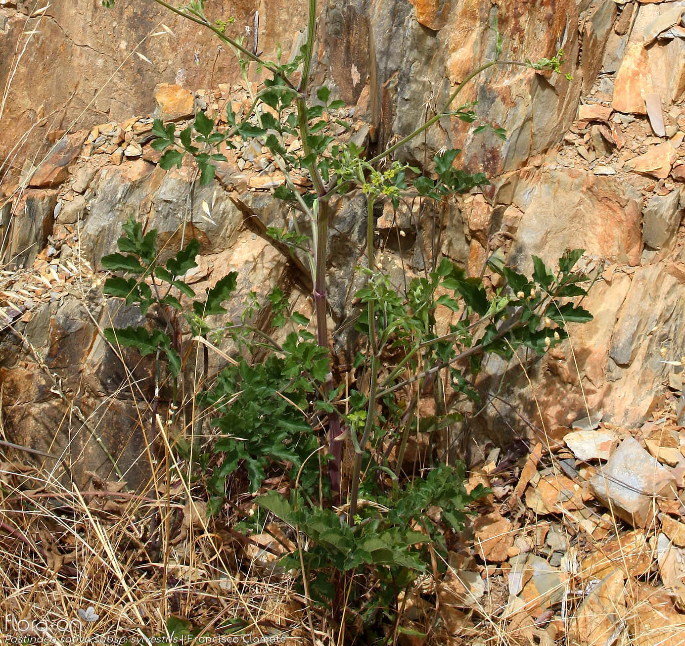 Pastinaca sativa sylvestris - Folha (geral) | Francisco Clamote; CC BY-NC 4.0