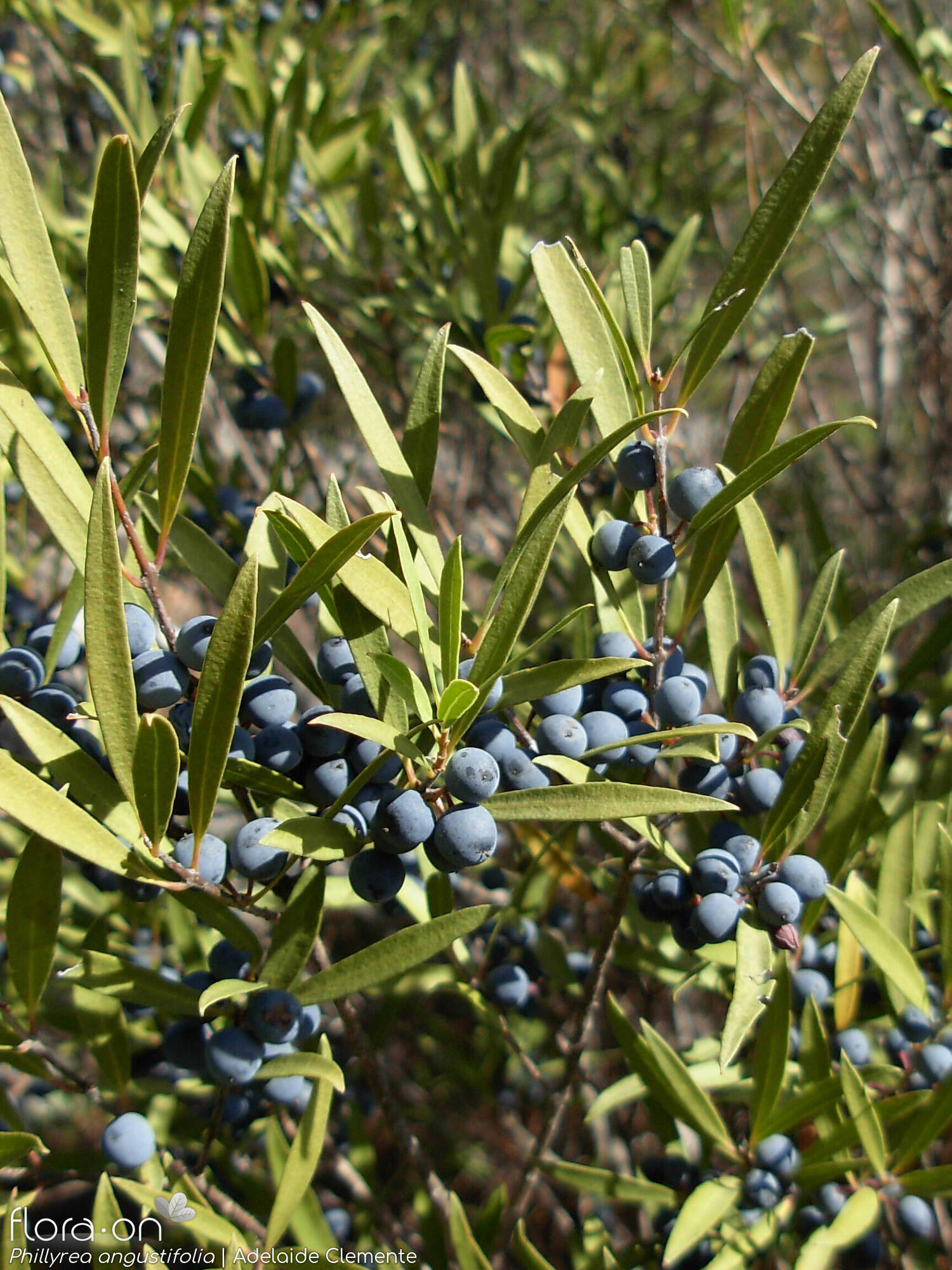 Phillyrea angustifolia - Fruto | Adelaide Clemente; CC BY-NC 4.0