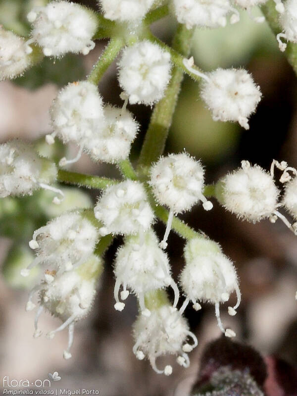 Pimpinella villosa - Flor (close-up) | Miguel Porto; CC BY-NC 4.0