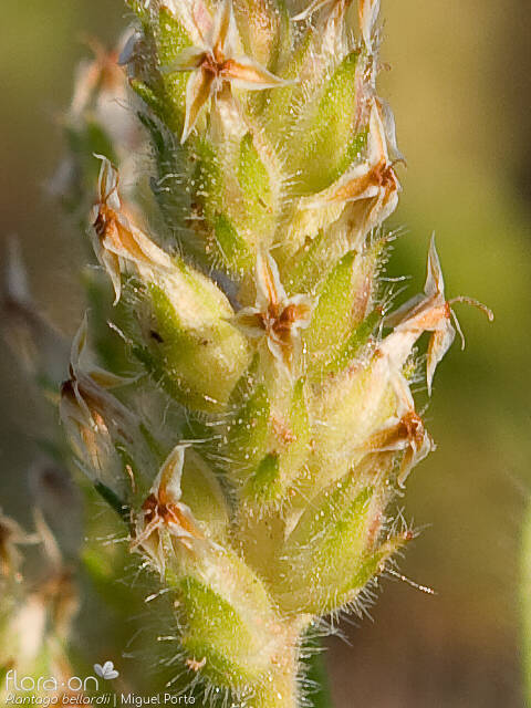 Plantago bellardii - Flor (close-up) | Miguel Porto; CC BY-NC 4.0
