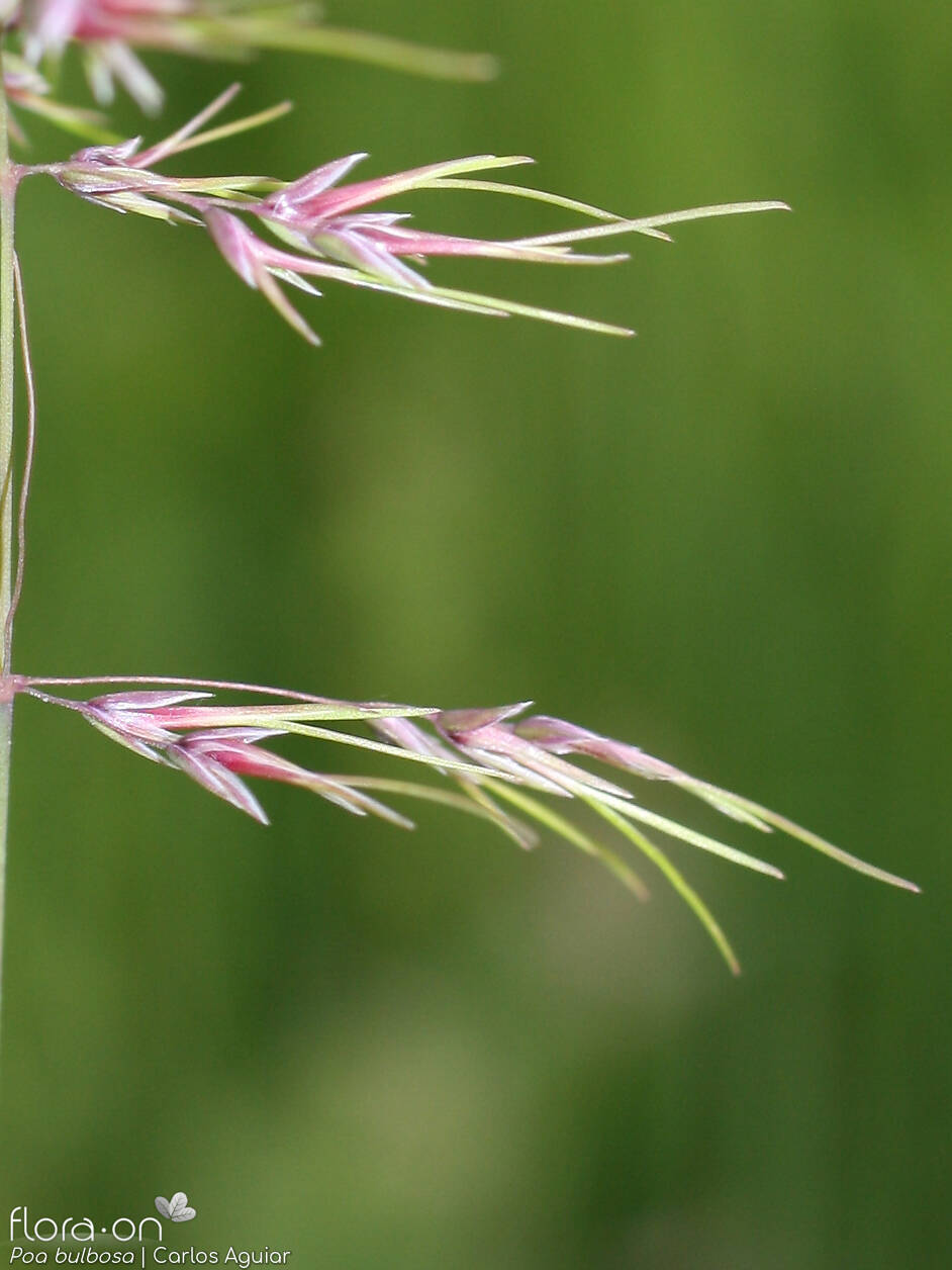 Poa bulbosa - Flor (close-up) | Carlos Aguiar; CC BY-NC 4.0
