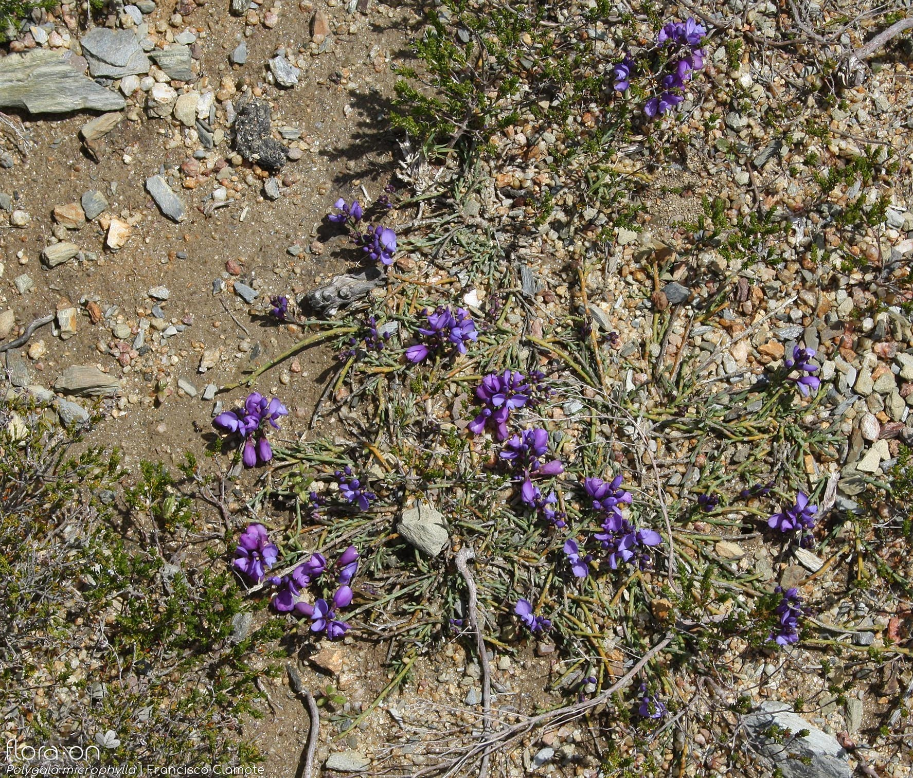Polygala microphylla - Hábito | Francisco Clamote; CC BY-NC 4.0