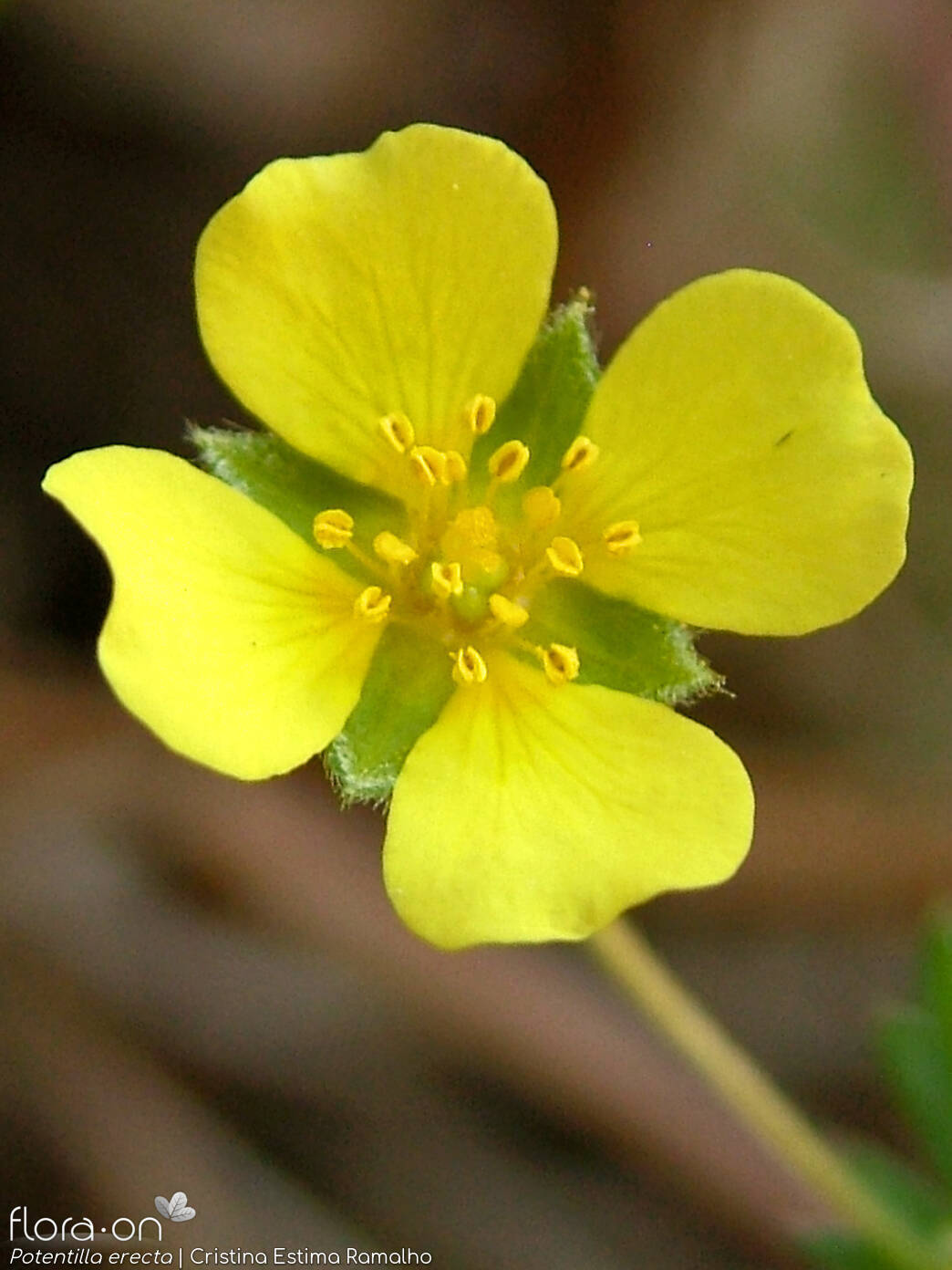 Potentilla erecta - Flor (close-up) | Cristina Estima Ramalho; CC BY-NC 4.0