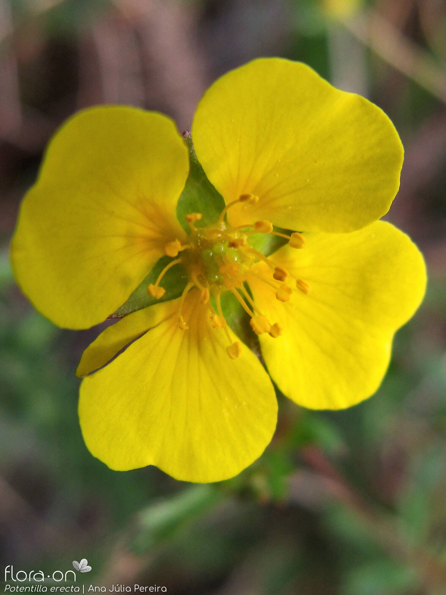 Potentilla erecta - Flor (close-up) | Ana Júlia Pereira; CC BY-NC 4.0