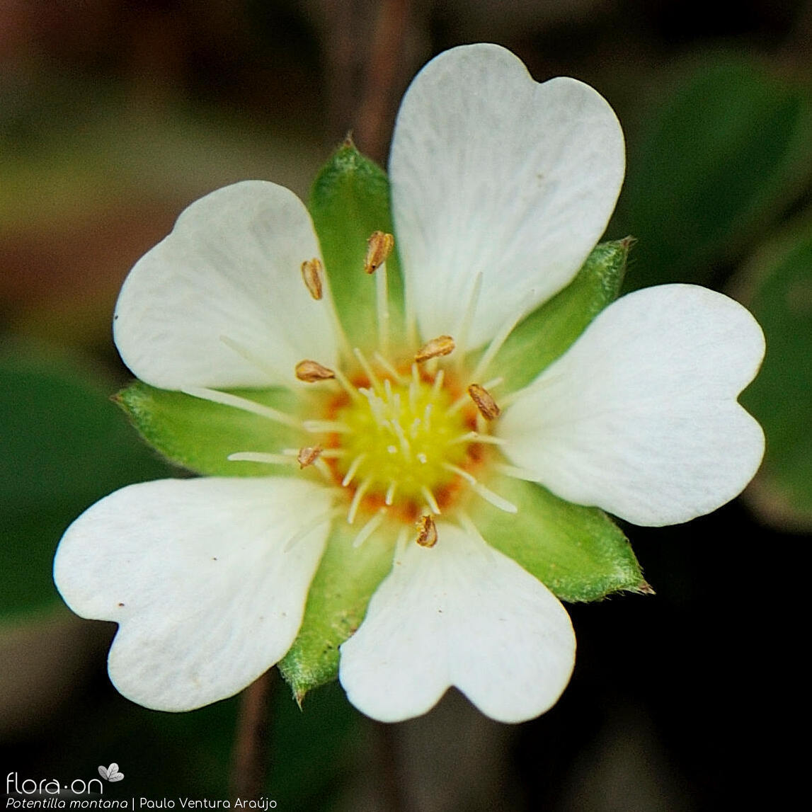 Potentilla montana - Flor (close-up) | Paulo Ventura Araújo; CC BY-NC 4.0