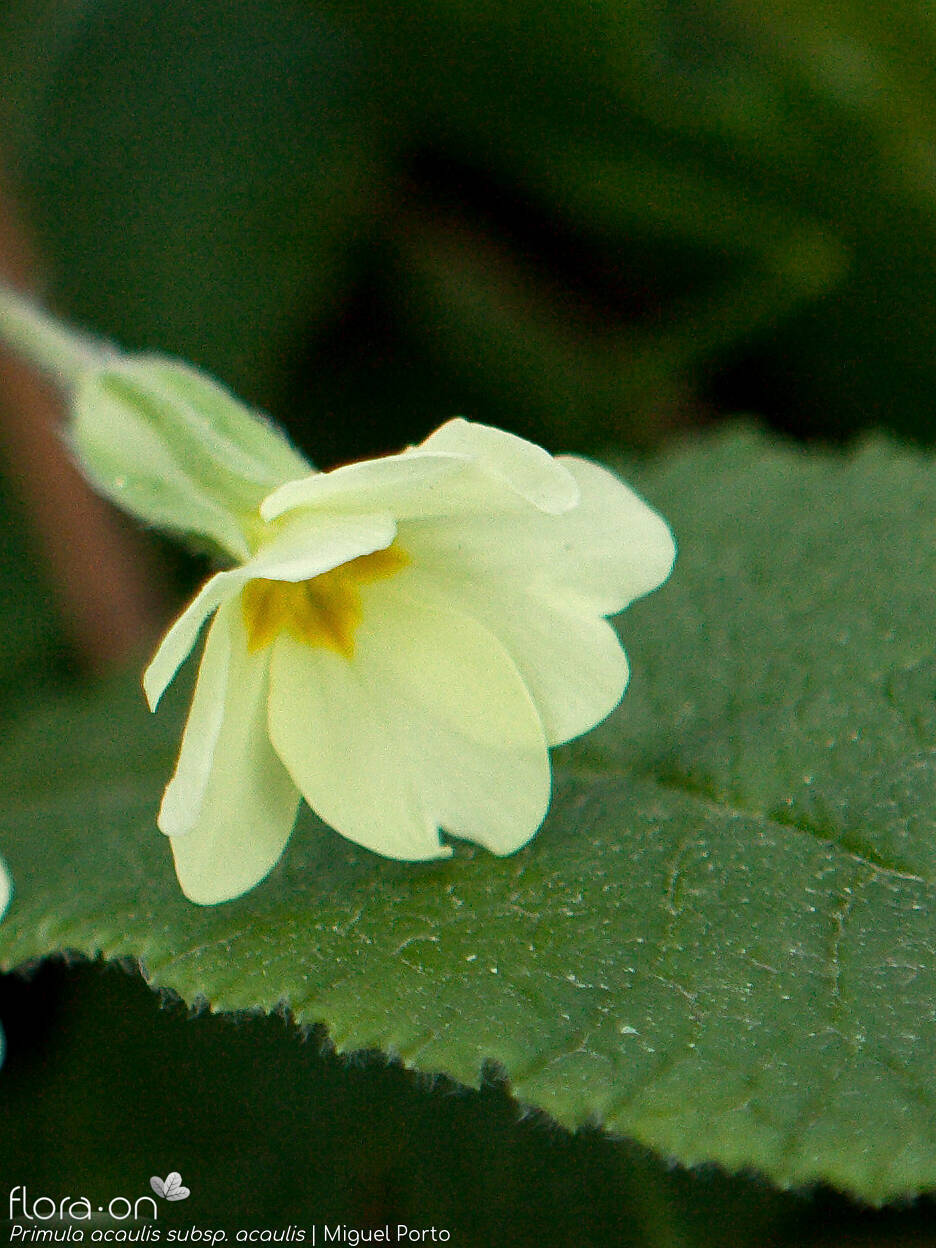 Primula acaulis acaulis - Flor (close-up) | Miguel Porto; CC BY-NC 4.0