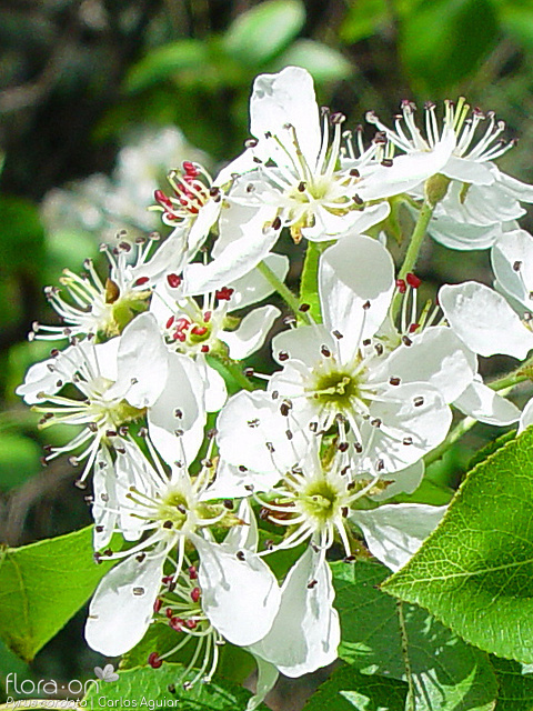 Pyrus cordata - Flor (close-up) | Carlos Aguiar; CC BY-NC 4.0