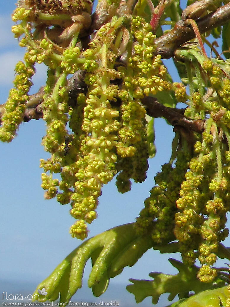 Quercus pyrenaica - Flor (close-up) | João D. Almeida; CC BY-NC 4.0