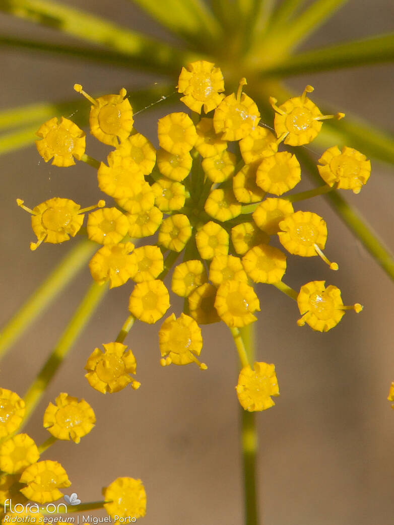Ridolfia segetum - Flor (close-up) | Miguel Porto; CC BY-NC 4.0