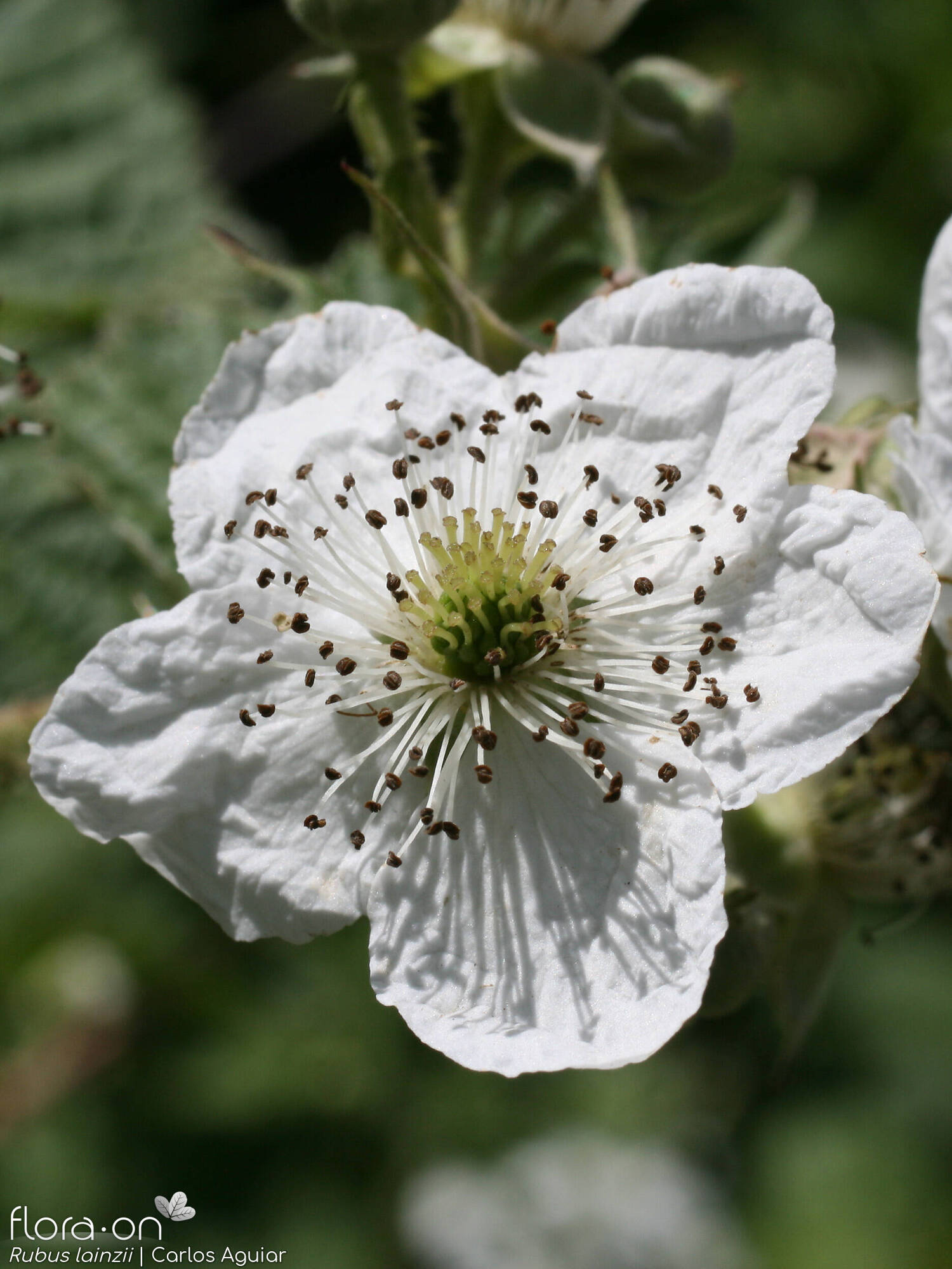 Rubus lainzii - Flor (close-up) | Carlos Aguiar; CC BY-NC 4.0