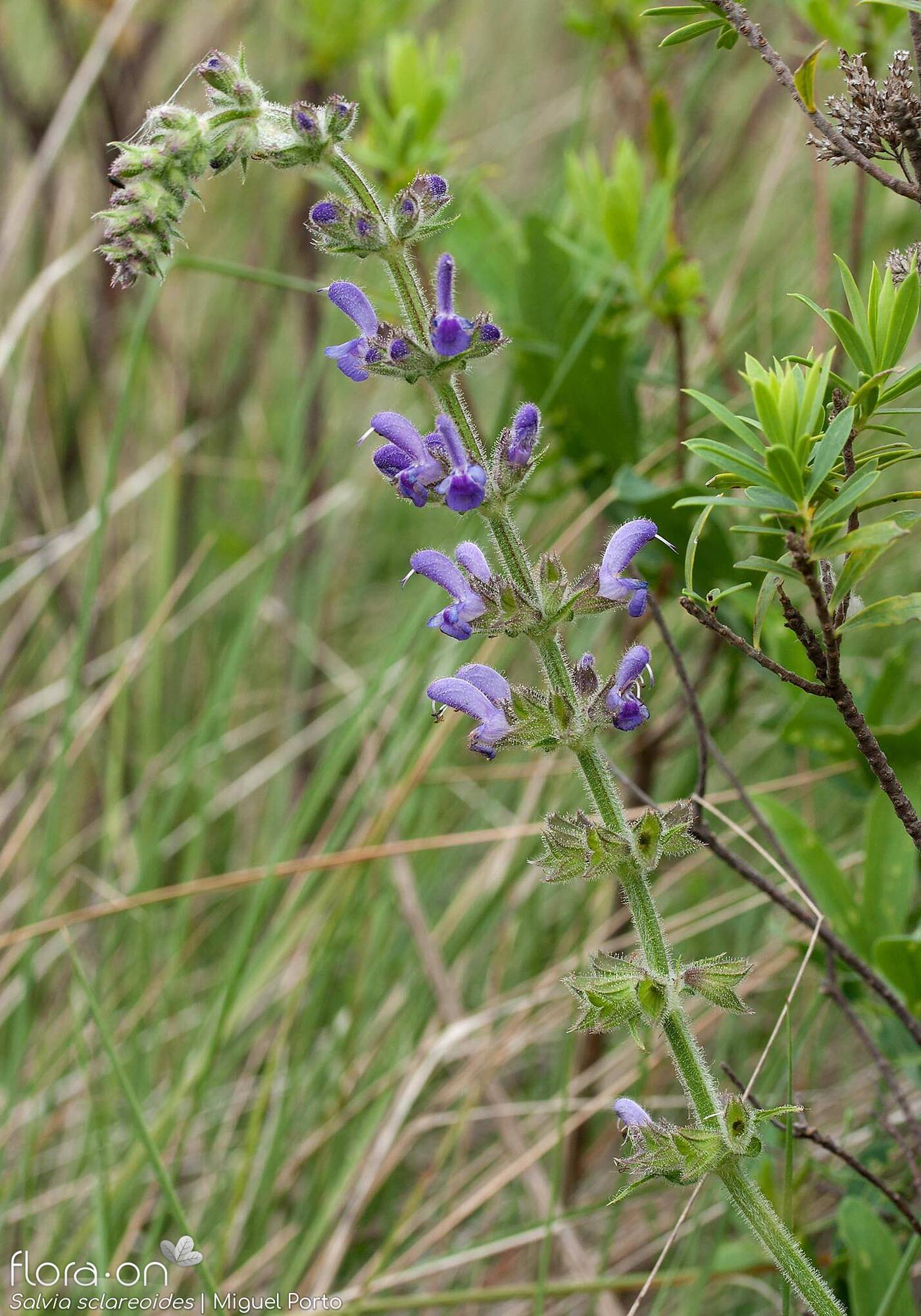 Salvia sclareoides - Flor (geral) | Miguel Porto; CC BY-NC 4.0