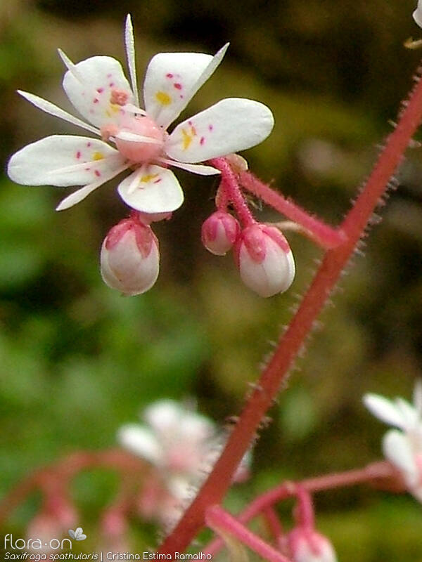 Saxifraga spathularis - Flor (close-up) | Cristina Estima Ramalho; CC BY-NC 4.0