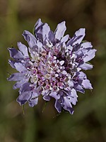 Scabiosa galianoi