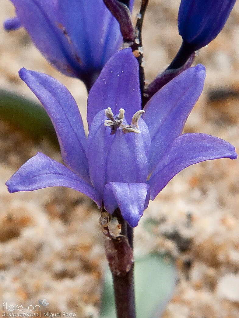 Scilla odorata - Flor (close-up) | Miguel Porto; CC BY-NC 4.0
