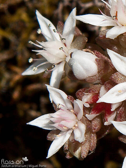 Sedum arenarium - Flor (close-up) | Miguel Porto; CC BY-NC 4.0