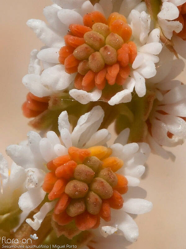 Sesamoides spathulifolia - Flor (close-up) | Miguel Porto; CC BY-NC 4.0