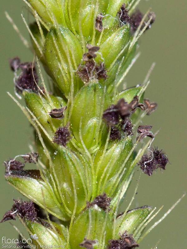 Setaria parviflora - Flor (close-up) | Miguel Porto; CC BY-NC 4.0