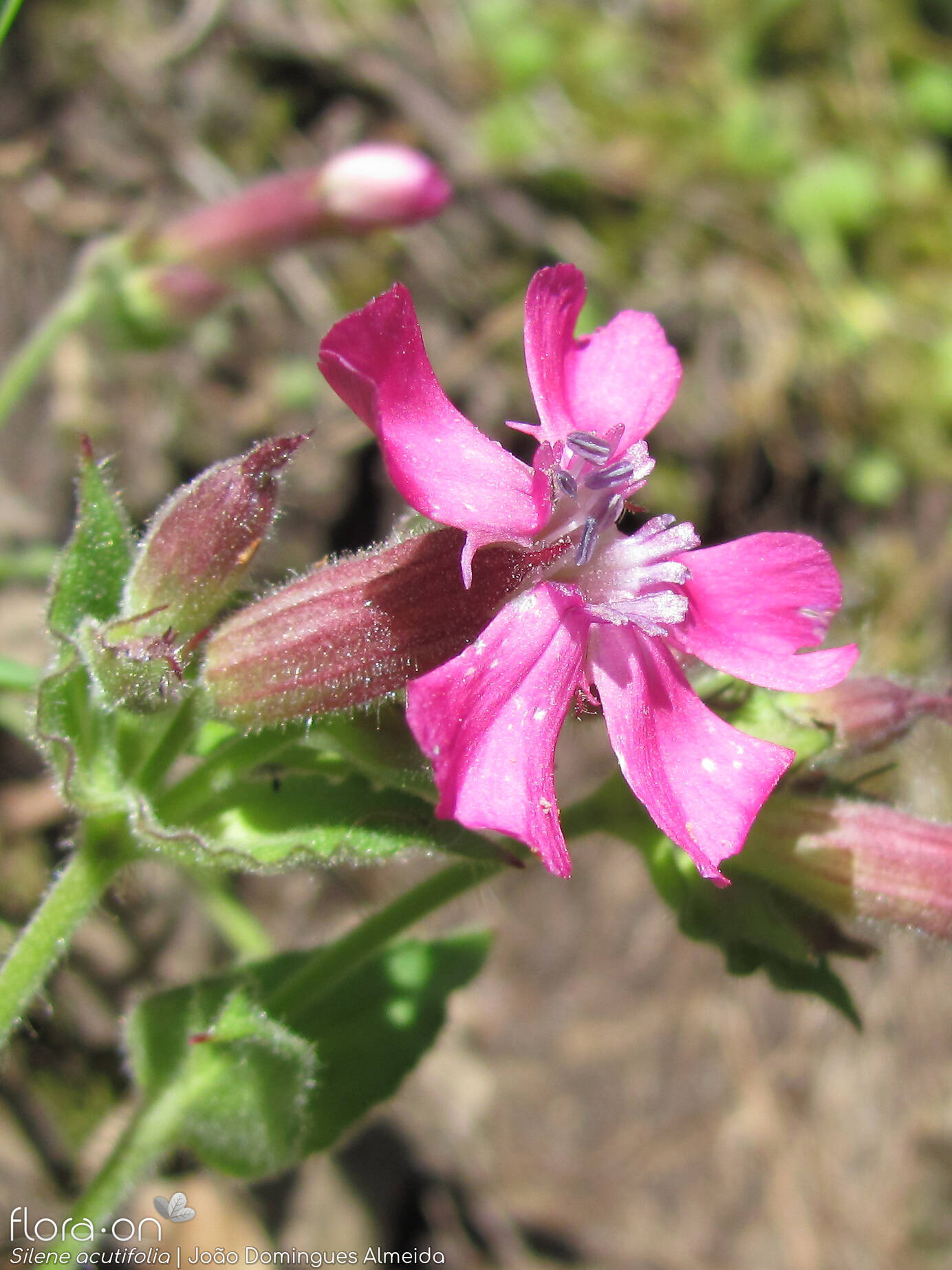 Silene acutifolia - Flor (close-up) | João D. Almeida; CC BY-NC 4.0