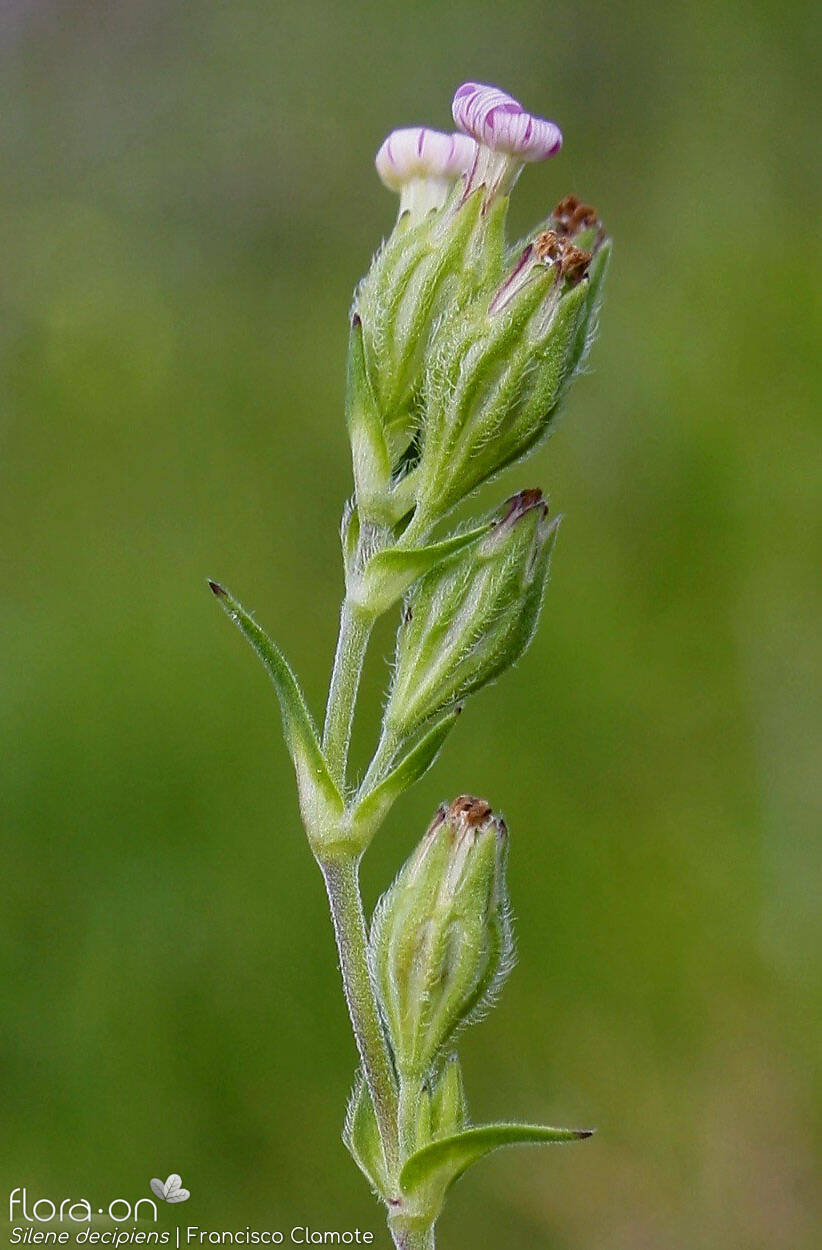 Silene decipiens - Flor (geral) | Francisco Clamote; CC BY-NC 4.0