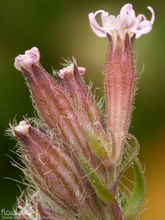 Silene disticha - Flor (close-up) | Miguel Porto; CC BY-NC 4.0