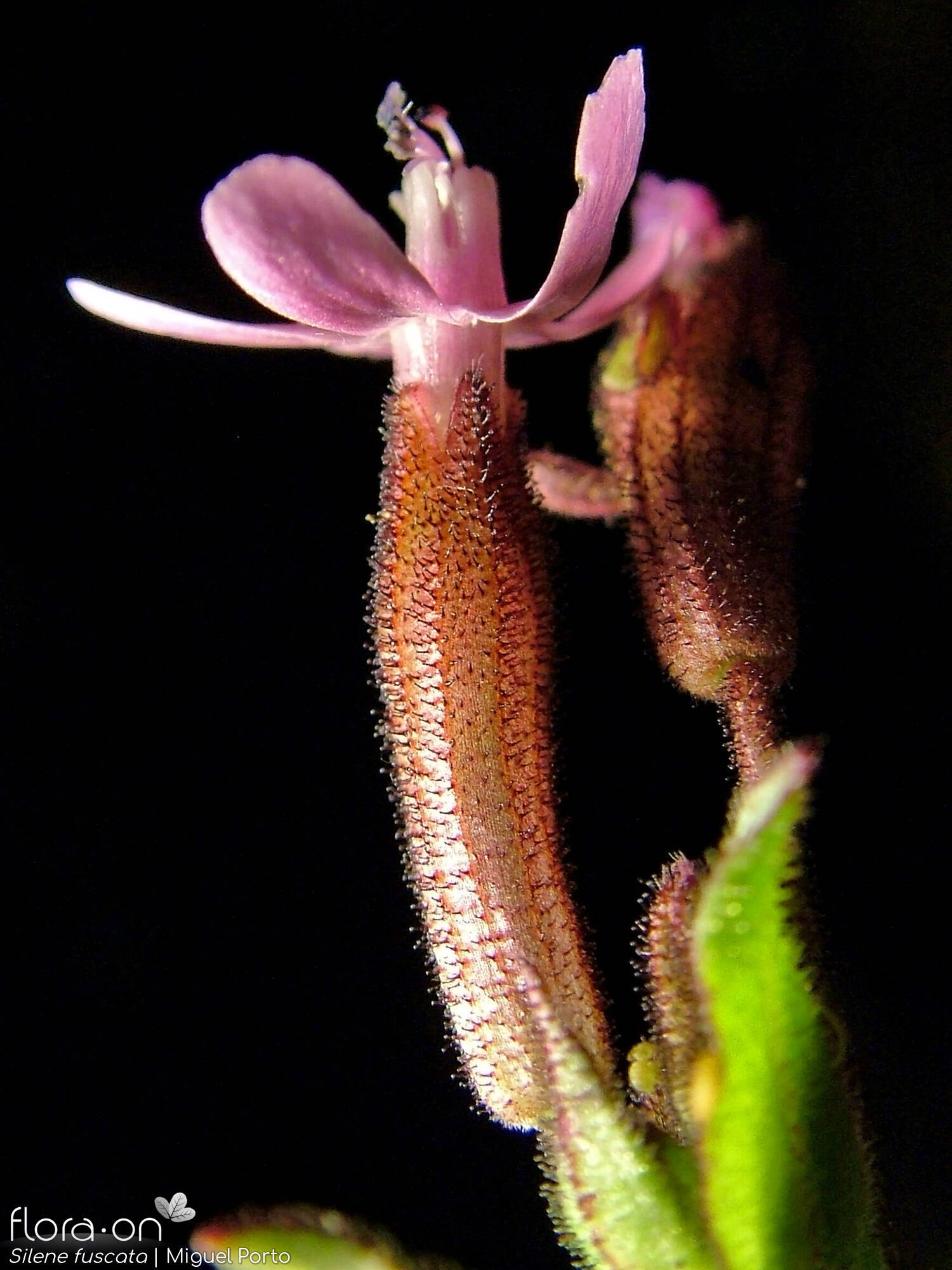 Silene fuscata - Flor (close-up) | Miguel Porto; CC BY-NC 4.0