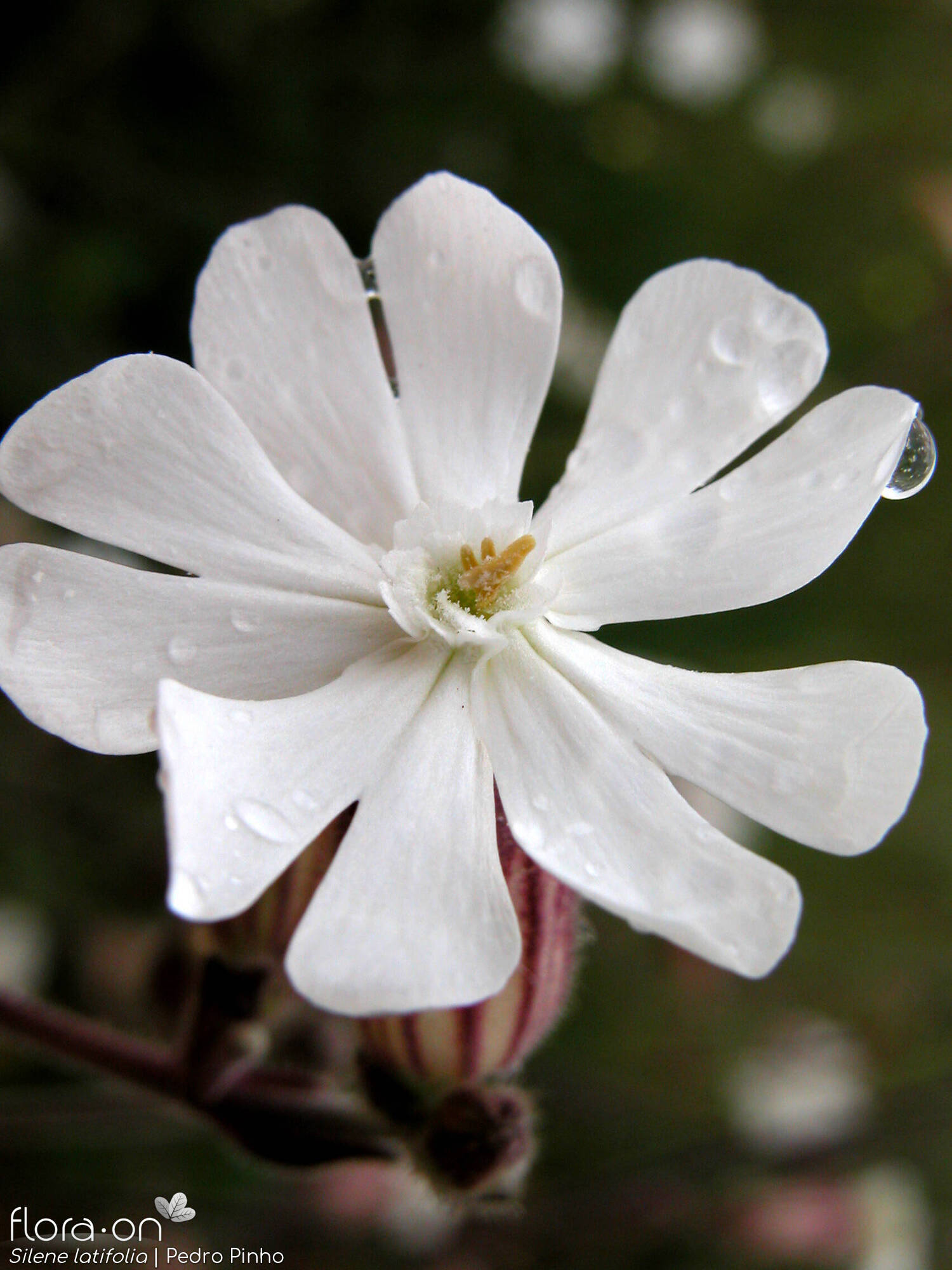 Silene latifolia - Flor (close-up) | Pedro Pinho; CC BY-NC 4.0
