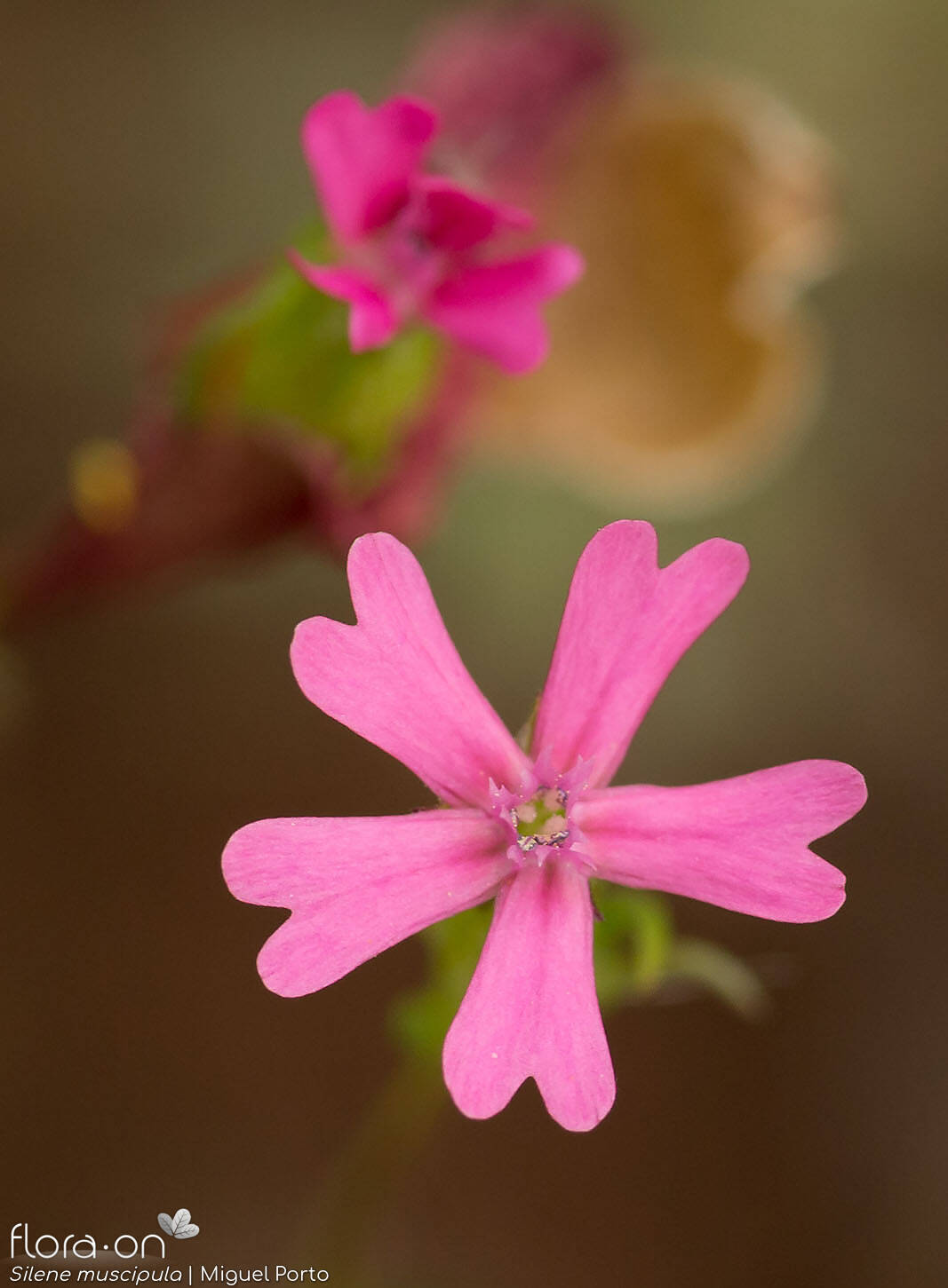 Silene muscipula - Flor (close-up) | Miguel Porto; CC BY-NC 4.0
