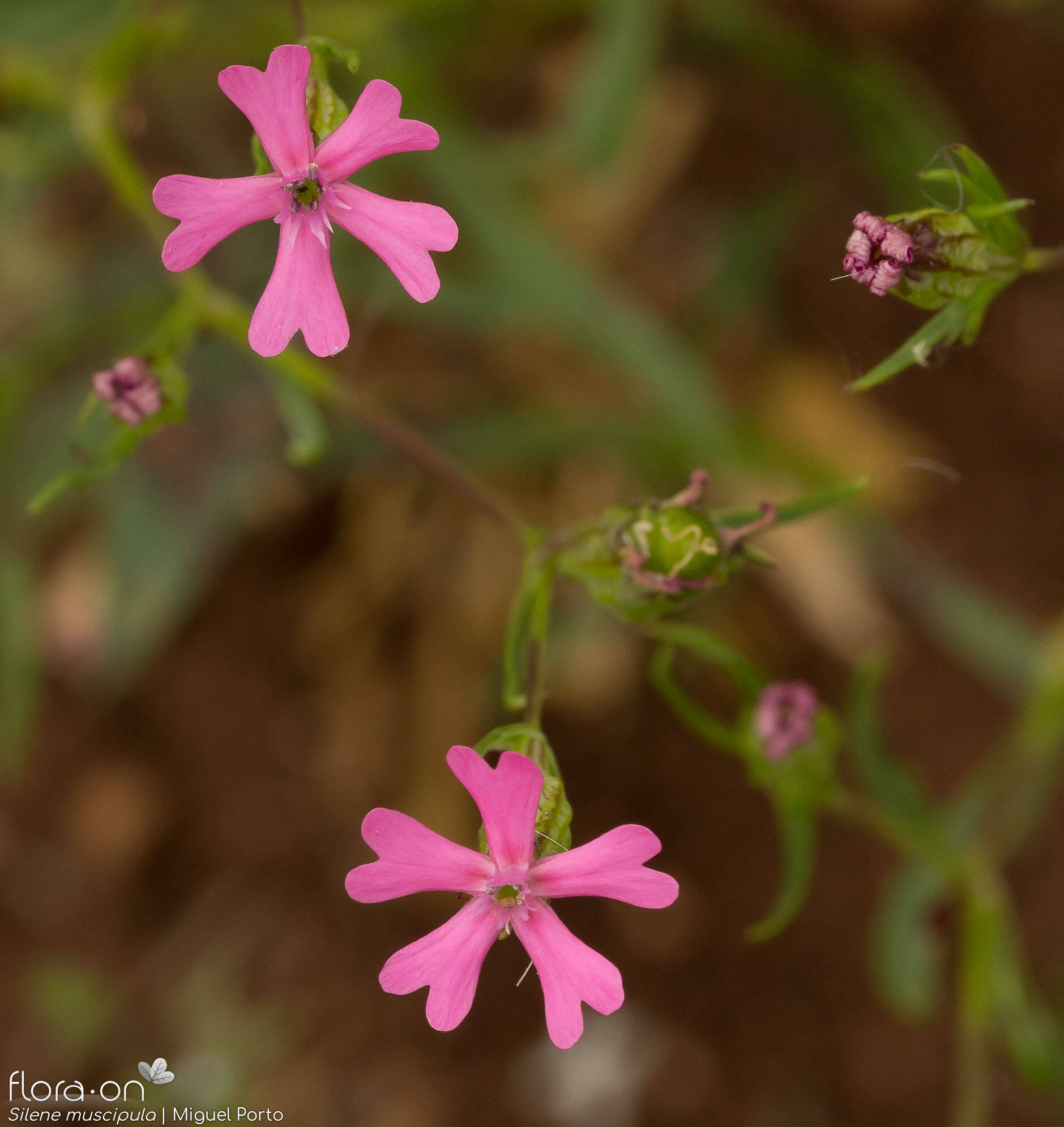 Silene muscipula - Flor (geral) | Miguel Porto; CC BY-NC 4.0