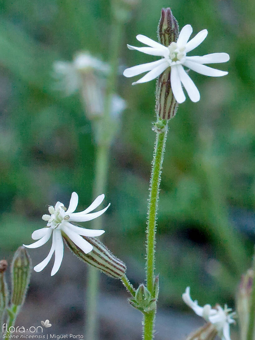 Silene niceensis - Flor (geral) | Miguel Porto; CC BY-NC 4.0