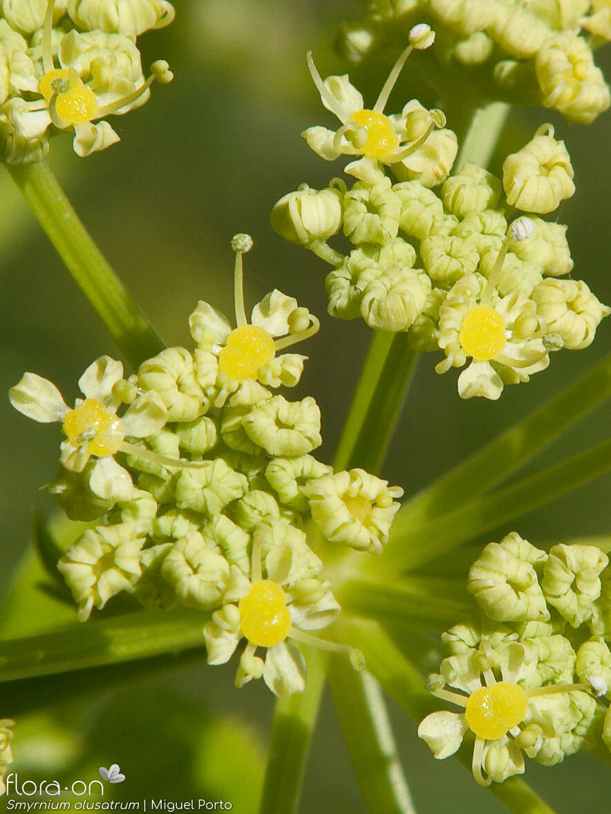 Smyrnium olusatrum - Flor (close-up) | Miguel Porto; CC BY-NC 4.0